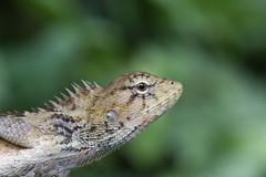 MMB_9492 (mmariomm) Tags: garden adult lizard oriental eastern grown versicolor changeable calotes