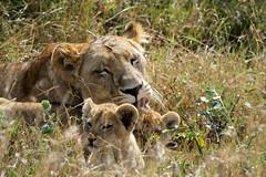 Lioness with cubs (valentinastorti) Tags: africa ranch cute grass fauna cub kenya lion dry east safari erba di alta tall savannah cuteness simba leone cucciolo solio savana secca
