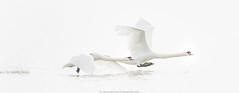 Ready for take off ..... (robvanderwaal) Tags: bird nature netherlands birds inflight swan nederland vogels natuur highkey vogel biesbosch muteswan cygnusolor zwaan 2014 zwanen invlucht kobbelzwaan rvdwaal robvanderwaalphotographycom