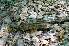 Chipmunk at Percy Warner Park - September 30, 2014 (mikerhicks) Tags: usa geotagged unitedstates nashville hiking tennessee wildlife chipmunk percywarnerpark warnerparks canon7d vaughnsgap sigma18250mmf3563dcmacrooshsm geo:lat=3606367061 geo:lon=8688623428
