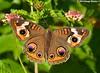 Buckeye - Bayou Courtableau, Louisiana (Image Hunter 1) Tags: pink blue orange brown flower green nature yellow butterfly wings louisiana purple bokeh wildlife spots bayou swamp greenery marsh lantana buckeye canoneos7d bayoucourtableau