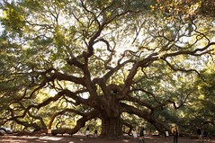 Angel Oak Tree (Ginny Williams Photography) Tags: old wild tree nature angel southcarolina oldtree oaktree epic homedecor magnificent fineartphotography enormous hugetree ancienttree wondersoftheworld printsforsale enormoustree angeloaktree printsforpurchase johnsislandsouthcarolina northcarolinaphotographer northcarolinaphotographers ncfineartphotographer northcarolinafineartphotographer raleighnorthcarolinaphotographer