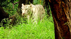 Wild Life : A Hidden Shot of White Tiger Moving Out From Den In Grass. (Jangra Works) Tags: white green forest out moving tiger den hidden hyderabad