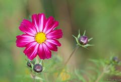 Proud (jacobsfrank) Tags: pink red flower color macro nature yellow garden nikon flickr dof nederland thenetherlands natuur tuin geel rood roze bloem kleur terneuzen frankjacobs nikond300s jacobsfrank