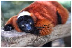 Red ruffed lemur (AGOODAY) Tags: portrait sleepy lemur grumpy redruffedlemur menorcazoo