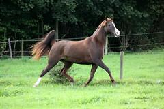 IMG_5799 Kopie (ehret_andrea) Tags: horses pferde pferd araber