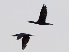 A Most Singular Cormorant in Flight (jefrs) Tags: england bird cormorant newbury 100300 gh4
