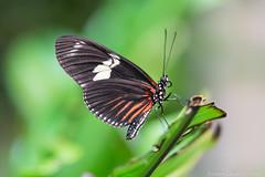 Oct2014_Rainforest-1445.jpg (KDsPictures) Tags: nature butterfly rainforest butterflies dorislongwing calacademyofsciences october2014