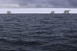 Polar Bears with Arctic Ocean