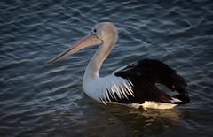 Pelican (Craig F Gibson) Tags: bird canon australia pelican queensland sunshinecoast mooloolaba 6d australianbirds canonef70200mmf4l wwpw2014 pelecanidas