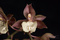 2014-4698_AOSJud_20141010_IMG_0316_CEJ_W (celainej) Tags: plant orchid green yellow beige cream magenta spot glossy american society matte aos