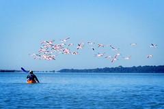 Kayak et flamants  Juliette Freudenberg (Plaisirs d'Hrault) Tags: kayak nautisme loisirsnature