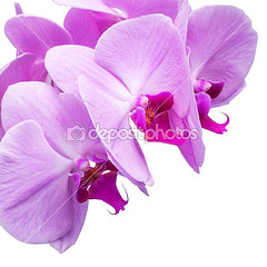 """depositphotos_21812579-Orchid-phalaenopsis-flowers-isolated-on-white • <a style=""""font-size:0.8em;"""" href=""""http://www.flickr.com/photos/128564434@N02/15347394688/"""" target=""""_blank"""">View on Flickr</a>"""