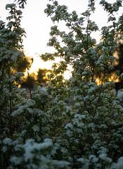 Blossoms in the Evening (dlerps) Tags: flowers sunset sun plant bush dusk sony blossoms sigma australia newsouthwales goldenlight wauchope lerps sonyalphadslr sigma1850mmf28exdcmacro sonyalphaa77v daniellerps