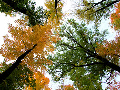 """Orange & Green Maple Leaves Above • <a style=""""font-size:0.8em;"""" href=""""http://www.flickr.com/photos/34843984@N07/15400584786/"""" target=""""_blank"""">View on Flickr</a>"""