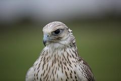Peregrine Falcon (Jigsaw-Photography-UK) Tags: white bird flight falcon prey falconry peregrine