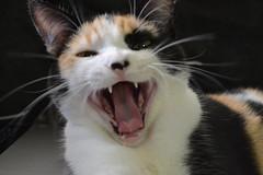 Mina (M. Victria) Tags: cute cat sad gatos bocejo