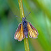 03 Small Skipper_Colin Grant