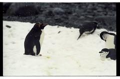 1998_12-003-13-G (becklectic) Tags: bird penguin antarctica 1998 antarcticpenninsula worldtrekker