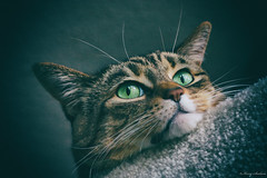 297/365 - Kona Kitty Portrait (Keeperofthezoo) Tags: pet animal closeup cat feline kitty kona petportrait tabbycat konacat