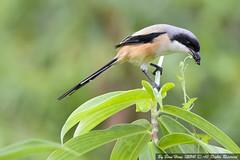 Long-tailed Shrike or Rufous-backed Shrike (Lanius schach)_DSC2292-1 (BoonHong Chan) Tags: or shrike laniusschach longtailedshrike rufousbackedshrike