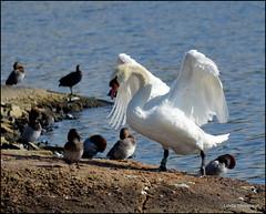 Swan 2 (lyn-anne) Tags: cygnet bugs hide oldcart