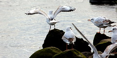 Go fly away (mootzie) Tags: white black feet river grey wings riverside stones gulls feathers wingspan webbed beaks