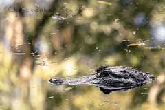 Lurking (skippys1229) Tags: statepark park water canon reflections pond florida gator reptile wildlife alligator lagoon americanalligator citruscounty 2014 wildlifepark homosassasprings scaly 70d ef70300mm homosassaspringswildlifestatepark canon70d