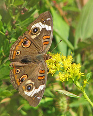 Buckeye in the goldenrod (Vicki's Nature) Tags: autumn brown yellow canon butterfly georgia october dof circles goldenrod spots buckeye s5 3965 touchoforange vickisnature touchofwhite gibbsgardens