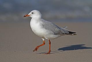 Silver Gull (AU8)