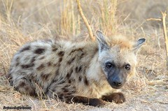 Spotted hyena. (Arno Meintjes Wildlife) Tags: africa nature southafrica wildlife reserve safari krugerpark scavanger arnomeintjes