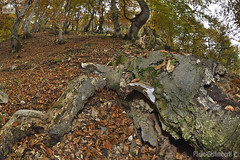 Faggeta, beech-wood (paolo.gislimberti) Tags: wood autumn trees leaves foglie alberi forest landscapes moss deadleaves trunks muschio autunno paesaggi bosco foresta beeches undergrowth sottobosco autumnalcolors faggi tronchi palanfr coloriautunnali