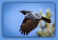 American Crow (ctofcsco) Tags: usa black bird classic nature canon flying inflight colorado unitedstates bokeh wildlife victor explore telephoto 7d coloradosprings northamerica crow common 100400mm 56 americancrow goldfield 2014 marki 11250 ef100400mmf4556lisusm 365mm eos7d 7dmark1