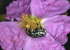 coleoptera sp sur un ciste (luka116) Tags: flowers flower fleur animal animals fleurs flora blumen greece fiori animaux 2008 rhodes grce insecte flore rhodos coleoptera cistus arbustre
