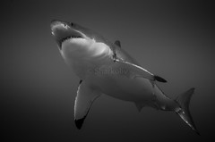 The Great White - Le Grand Blanc (Sharkoliv) Tags: underwater 2014 guadalupeisland nautilusexplorer