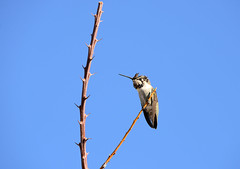 Costa's Hummingbird (staffordlaura1955) Tags: laura bird nature birds animal backyard hummingbird desert wildlife hummingbirds stafford