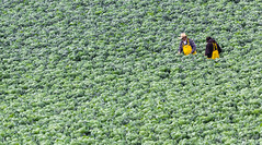 inspecting the crop (otgpics) Tags: california two sun men green vegetables field hat leaves yellow work big looking bib farming down salinas foliage valley overalls production agriculture leafy picking waterproof brassica oleracea