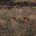 Two Male Cheetahs