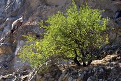 Buitre leonado (Gyps fulvus) (Hachimaki123) Tags: animal ave vulture birdofprey buitreleonado buitre gypsfulvus griffonvulture averapaz