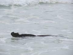 Iguana at Tortuga bay