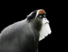 De Brazza's Monkey#2 (High Peak and Lowland) Tags: monkey lancashire explore ape primate blackpool fylde blackpoolzoo debrazzasmonkey tamronsp70300mmf456divcusd flickrsfinestimages1 jimennisphotography nikond610 blackinheblack