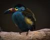 Ocell (faltimiras) Tags: ecuador ruins ruinas parrots cuenca ingapirca tucan ruines tuca papagayos guacamayos lloros ingapirka