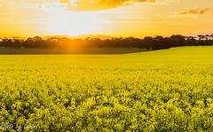 Sunset over Canola
