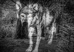 Spirit of The Timber Wolf (Cyndy Dff) Tags: wolf canine wildanimal wilddog greywolf rosshall glasgow2013