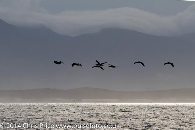 Cormorants, Hermanus