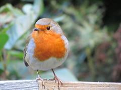 UK - Devon - Near Lynmouth - Watersmeet - Robin Red Breast (JulesFoto) Tags: uk england bird devon nationaltrust lynmouth watersmeet exmoor robinredbreast