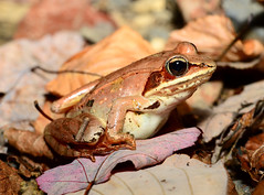 Wood Frog   (Rana sylvatica) (nikomelos) Tags: