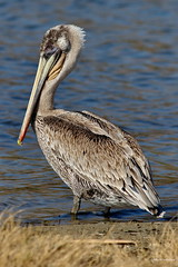Brown Pelican, immature, Malibu CA CQ4A1495 (Hart Walter) Tags: brownpelican malibulagoon marbledgodwit earedgrebe santamonicabay pelicanfeedingfrenzy