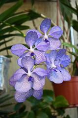 Vanda coerulea (douneika) Tags: orchid orchidaceae vanda orquidea orchidee orchidea coerulea