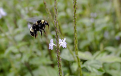 bumblebee n flower (leandrofumes) Tags: flower nature animal wasp bumblebee mamangava
